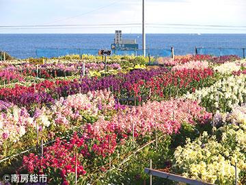千倉のお花畑